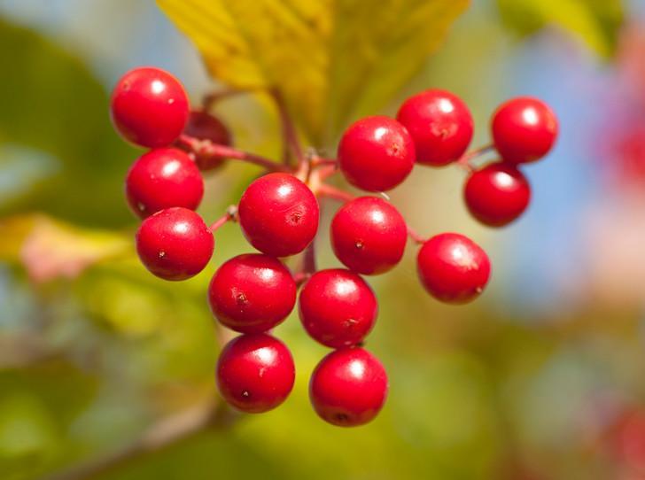 В своем отечестве: самые полезные осенние ягоды